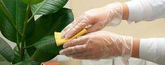 Como limpar as folhas das plantas - Essa é uma dúvida muito comum entre os jardineiros de primeira viagem: como limpar as folhas das plantas? Parece fácil, e até inúmeras receitas circulam por aí, mas nem todas elas fazem bem para as espécies - podendo até prejudicar o aspecto e o seu desenvolvimento. Para que você não cometa erros... - http://www.ecoadubo.blog.br/ecoblog/2015/10/07/como-limpar-as-folhas-das-plantas-2/