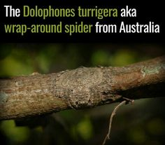 Wrap-around spider, Australia