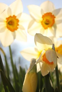 Daffodils or Jonquils what ever you call them they are still a beautiful flower & my 1st grand daughters birth flower...