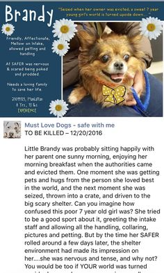 SAFE❤️❤️ 12/20/16 BY LOOKING GLASS ANIMAL RESCUE❤️❤️ THANK YOU❤️ Manhattan Center My name is BRANDY aka GRETA My Animal ID # is A1099125. I am a female tan and brown chihuahua lh mix. The shelter thinks I am about 7 YEARS old. I came in the shelter as a SEIZED on 12/08/2016 from NY 10027, owner surrender reason stated was OWN EVICT. http://nycdogs.urgentpodr.org/brandy-a1099125/