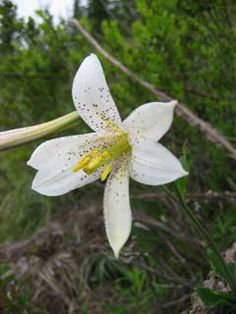 Lilium washingtonianum 3.jpg (Lelie)