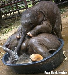 This must be the cutest baby elephant photo ever. It was taken by Ewa Narkiewicz and posted on her Facebook page. Ewa is the communications officer for the Elephant Stay at the Royal Elephant Kraal…