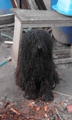 Bogáncs, a Hungarian puli, dog of Merci, one of the students Hungarian Puli, Puli Dog, Students, Dogs, Animals, Animais, Animales, Animaux, Pet Dogs