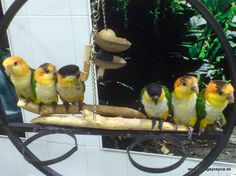 Preciosos caiques disponibles en Papagayos y Cía. Es uno de nuestro loros favoritos. www.papagayosycia.es Parrot, Bird, Animals, Parrots, Birds, Animais, Parrot Bird, Animales, Animaux