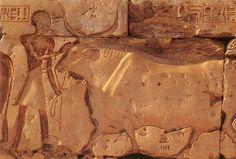 Pared del Templo Ramsés II en Abidos. XIX dinastía. Buey conducido al sacrificio.