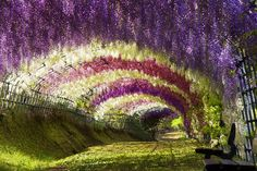 """Some say that the extremely overpowering smell of flowers makes it almost impossible to sit on that bench for even as little as 15 minutes, without getting dizzy!""  Location: Wisteria Tunnel from Japan's Kawachi Fuji Garden"