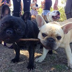 """Sharing is Caring!""... ""Gimme fat stick!"", French Bulldogs and the Stick"