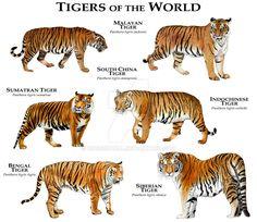 Tigers of the World by rogerdhall.deviantart.com on @DeviantArt