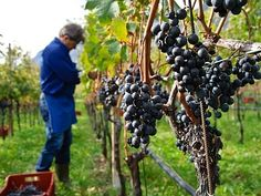 Vita de vie : Ghid complet de plantare intretinere si tratamente. Grape Trellis, Face Photo, Garden, Drinks, Projects, Agriculture, Drinking, Log Projects, Garten