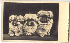 Three Pekingese Dog RPPC Photo Postcard mailed 1934 Riga Latvia | Photo Postcards, Vintage Postcards, Pekingese Dogs, Riga Latvia, History, Animals, Ebay, Nice, Vintage Travel Postcards