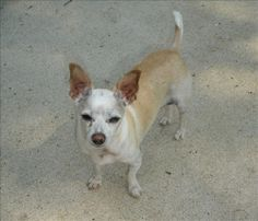 Gordi is an adoptable Chihuahua Dog in Dayton, OH. Gordito (Gordi) is my name and as you can see I am a small male, (around 6 pounds ) with a white and tan smooth coat. My coat is a bit thin on my che...