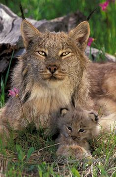 Canada Lynx, (Lynx canadensis) Mother and kitten. Spring.Montana. Captive Animal.