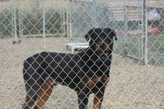 'Brutus' is an adoptable Rottweiler Dog in Lacombe, AB. This is 'Brutus' a 5 yr old Male Rottweiler. 'Brutus' is a confident well trained dog. He does well with other dogs, new people and adores child...