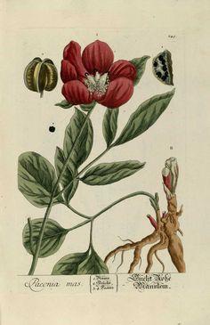 """Otra variedad de peonía (Paeonia mas) """"Herbarium Blackwellanium"""" Nüremberg, 1757"""