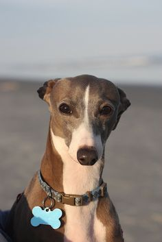Butchie I Italian Greyhound. I'm not a big fan of IGs but look at that face.