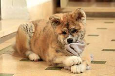 Akita Inu dog. Tótoro chan ❤️