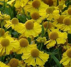Helenium autumnale (Sneezeweed), love this fall blooming flower, will look for it.