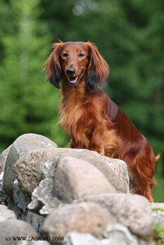 Long-haired Dachshund. is what my gradma has but he is 8