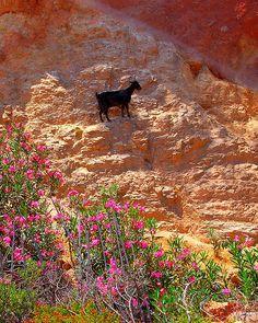 Black goat on a mountainside on the Greek island of Crete