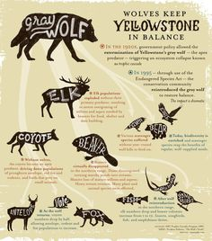 Infographic: Wolves Keep Yellowstone in the Balance | Earthjustice -- Great for a lesson on food webs!