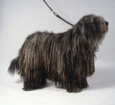 bergamasco shepherd dog photo | Bergamasco :: Dogs :: VIVAPETS