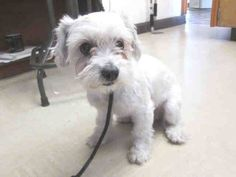 ~ Animal ID #A1544645   ‒ I am a Female, White Miniature Poodle and Maltese. The shelter does not know how old I am. I have been at the shelter since April 02, 2015.      North Central Animal Care and Control Center  Telephone ‒ 213-485-5767 3201 Lacy Street Los Angeles, CA Fax: (213) 847-0555 https://www.facebook.com/OPCA.Shelter.Network.Alliance/photos/pb.481296865284684.-2207520000.1428716436./802097656537935/?type=3&theater
