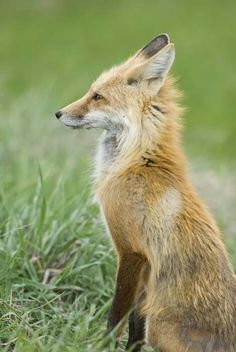 Red Fox by Andrew Bennett Photography