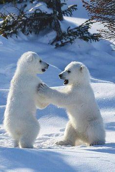 Bear Photos, Bear Pictures, Cute Animal Pictures, Baby Polar Bears, Cute Polar Bear, Bi Polar, Nature Animals, Animals And Pets, Wild Animals