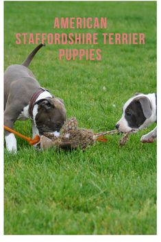 Staffie...Puppies that stay with their litter for at least three months are more likely to develop good social skills as they act as role models for each other. #americanstaffordshireterrier #staffie #puppy