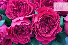 Seven beautiful roses in the pink colour palette for you to get to know... | Flowerona
