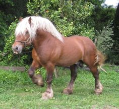 Basque Country Mountain stallion. Apart from their breeding for meat, thay have started also to be used as draft horses and for touristic uses, although in less proportion. Img: Euskal Herriko Mendiko Zaldia: 06/20/11