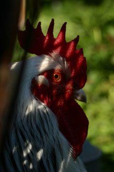 sort sex link høne