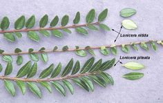 Lonicera pileata vs. lonicera nitida , leaves, comparison with L. nitida