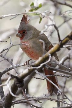 What do you know about pyrrhuloxia? [By Michele Wilson Berger/Photograph by Dmitry Mozzherin]