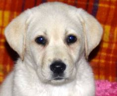 Golden labrador puppies for sale south wales
