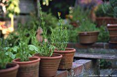Boutures en pots Tout sur le boutura de juillet à septembre (hortensias (fuschia, rosiers)