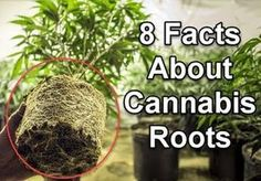 8 Facts About Cannabis Roots That You Never Knew Before Growing Weed, Growing Plants, Marijuana Plants, Cannabis Plant, 8 Facts, Weed Facts, Buy Weed Online, Ganja, Gardens
