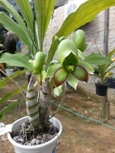 Catasetum Alex pardo X orchidglade1