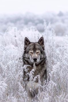 Wolf look alike Siberian Husky Mainz, Germany Nature Animals, Animals And Pets, Funny Animals, Cute Animals, Animals In Snow, Wild Animals, Baby Animals, Wolf Photos, Wolf Pictures