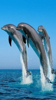 Wallpaper name: Bottlenose Dolphins. Description: Three stunning dolphins are jumping across the wide ocean. In the horizon the ocean meets the clear blue sky. Beautiful Creatures, Animals Beautiful, Beautiful Beautiful, Fauna Marina, Bottlenose Dolphin, Humpback Whale, Water Animals, Baby Animals, Funny Animals