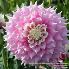 """Gitts Perfection Dahlia (10"""" bloom; 3' bush): soft pink with white center. Given a 5-star rating out of 5-stars, growers say it is beautiful in form, color, and symmetry."""
