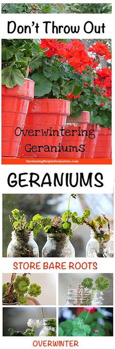Storing Geraniums in Wintering