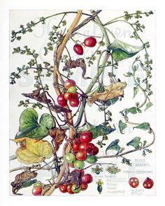 Black Bryony Berries  Vintage Botanical Art  Reproduction
