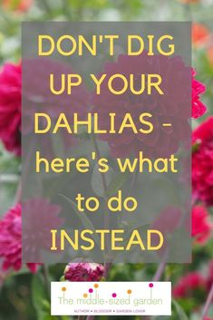 Don't dig up dahlias for winter! What to do instead Don't dig up your dahlias for winter – try this easy tip! Garden Bulbs, Garden Plants, Flowering Plants, Boutique Design, Flowers Garden, Planting Flowers, Small Flower Gardens, Outdoor Flowers, Cut Flowers