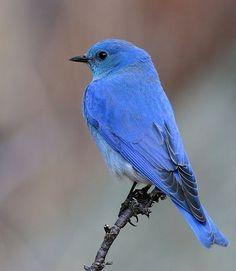 Exotic Birds, Colorful Birds, Pretty Birds, Beautiful Birds, Bluebird Tattoo, Tattoo Bird, Vogel Tattoo, State Birds, Bird Silhouette