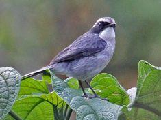 Gray Bushchat (Saxicola ferreus) by erry_Oldenettel