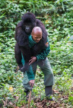 Virunga National Park lets tourists get up close to gorillas - Democratic Republic of Congo