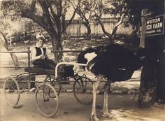 Ostrich farm in Pasadena, Ca. 1880's.  PICTURES IN TIME: March 2013