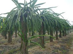 Tenemos plantas seleccionadas listas para ser sembradas mas informes al 0985747831