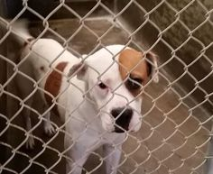 Boxer mix male 1-2 years old Kennel A5 Available **** $51 to adopt   Located at Odessa, Texas Animal Control. https://www.facebook.com/speakingupforthosewhocant/photos/pb.248355401855372.-2207520000.1411749836./846935131997393/?type=3&theater